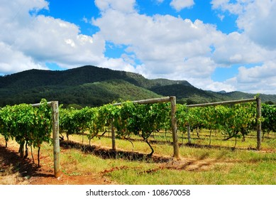 Grape vineyards