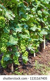 Grape in vineyards, Piedmont, Italy