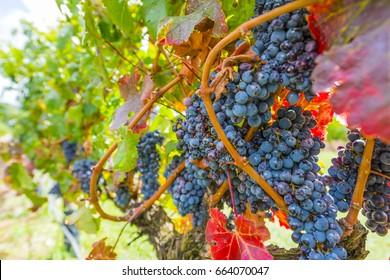 Grape wineyard in Paarl  South Africa