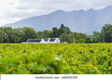 Grape wineyard in Paarl  South Africa