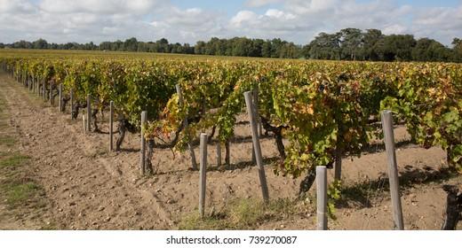 grape wineyards in Bordeaux area, France, Europe