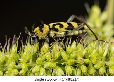 Grape Wood Borer (Chlorophorus varius)