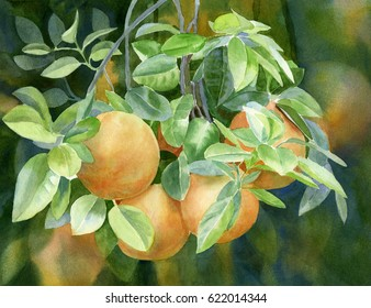 Grapefruit with Background.  Watercolor painting of yellow gold grapefruit on a tree branch with leaves.