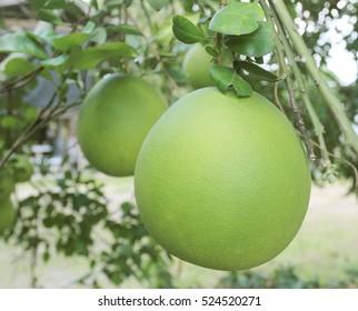 Grapefruit, fresh on the tree in the garden