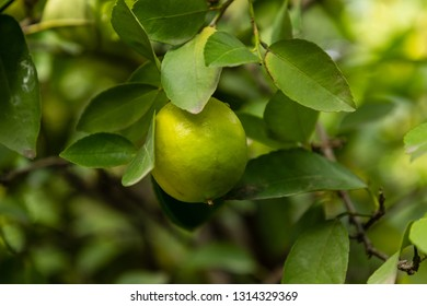 Grapefruit fruit on the tree branch
