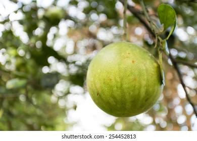 Grapefruit in the garden - Fresh pomelo on tree