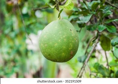 Grapefruit green hanging on tree