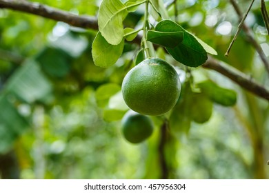 grapefruit on tree in a farm Thailand