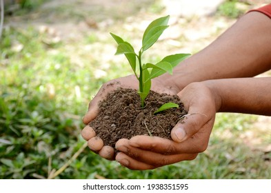 grapefruit plant soil heap in hands over out of focus green background.