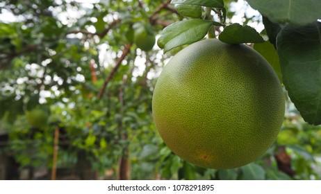 Grapefruit Seasonal Fruit