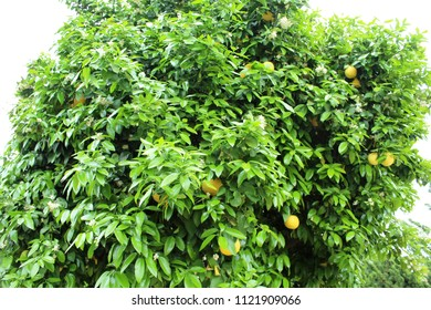 Grapefruit tree in California USA with flowers and mature fruit which are technically ripe ovaries, It is a hybrid classified as Citrus x paradisi, Fleshy fruit with a leathery rind and juicy interior