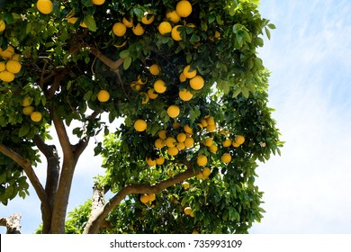 Grapefruit tree - Citrus X paradisi.