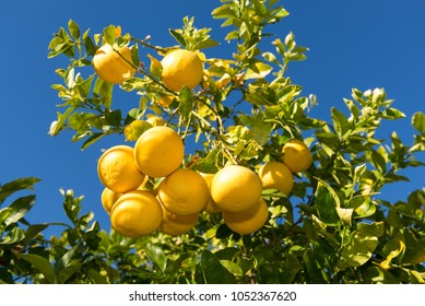Grapefruit tree with clusters of grapefruits ready to be harvested.