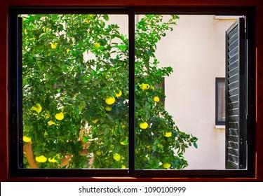 Grapefruit tree growing outside the window.