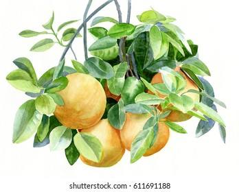 Grapefruit, watercolor painting illustration style of grapefruit on a branch