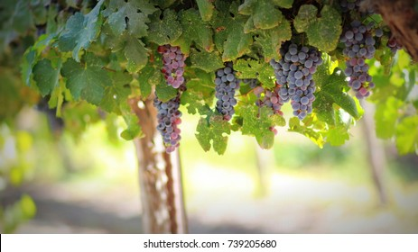 Grapes in autumn in Israel