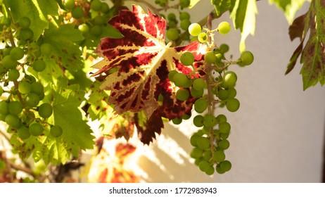 Trauben im Herbst mit roten Blättern in schönem Licht