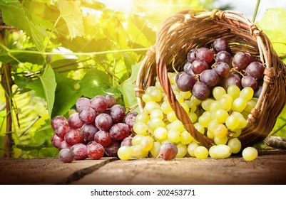 Grapes in a basket on a background of grape leaves in the sunlight