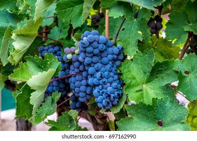 Grapes blue black