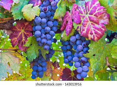 Grapes and colorful autumn leaves  in Napa Valley, Northern California