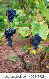 Grapes in French Vineyard