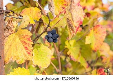 Grapes in a french vineyard ready for harvest