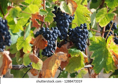 grapes growing in the Douro Valley Portugal