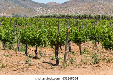 Grapes growing on vines in a rural area of Ensenada, Mexico in Baja California.