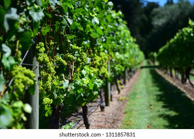 Grapes growing in a vineyard in Hastings, New Zealand