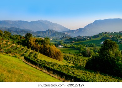 Grapes growing in vinyards near Conegliano, Italy. The grapes are used for making prosecco sparkling wine.