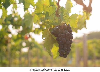 The grapes are grown on large acres of wineries.