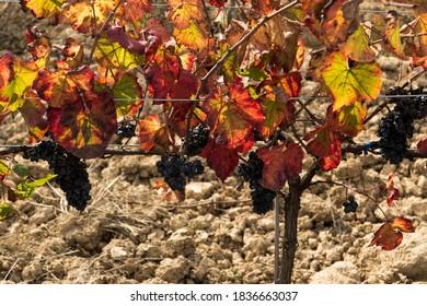 uvas colgadas en un viñedo de otoño