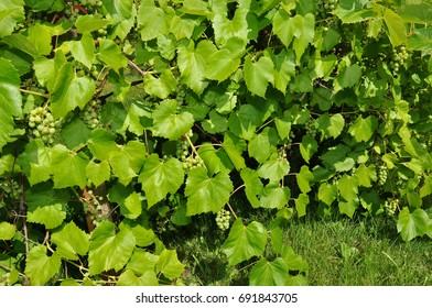 Grapes Hanging on the Vine, Just Starting to Ripen