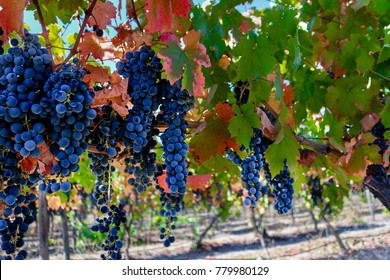 Grapes hanging in vineyard in San Clemente, Maule Region, Chile.