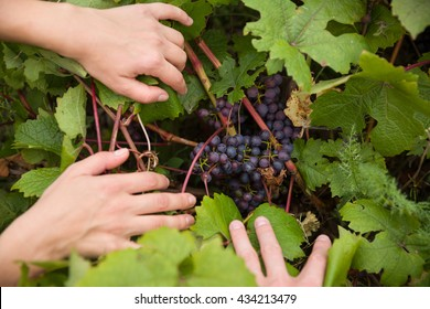 Grapes harvest. Closeup of fresh organic grapes. Farmers hands and freshly harvested black grapes in the garden.  Gardening and lifestyle concept