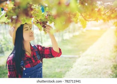 Grapes harvest ,Farmer woman in the vineyard.