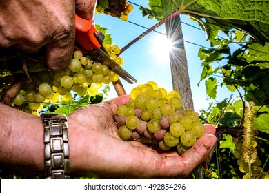 Grapes harvest. Farmers hands with freshly harvested white grape