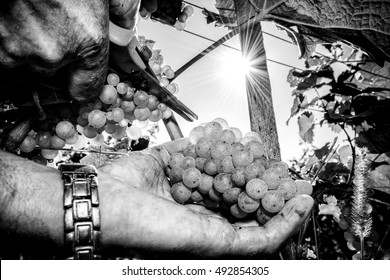 Grapes harvest. Farmers hands with freshly harvested white grape. Black and white photo