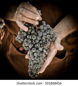 Grapes harvest. Farmers hands with freshly harvested black grapes, France