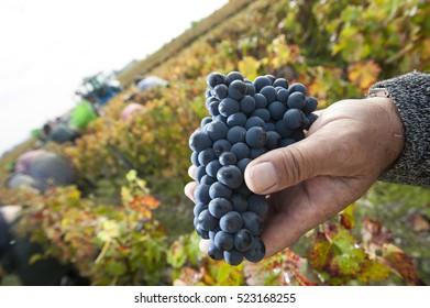 Grapes harvest, Farmers hands with freshly harvested black grapes, Medoc, France