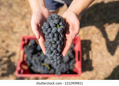 Grapes harvest. Woman's hands with freshly harvested grapes.