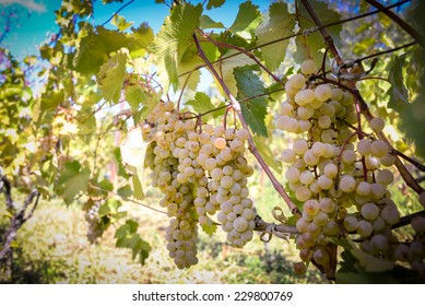 Grapes harvesting - white grape in a vineyard in sunny weather