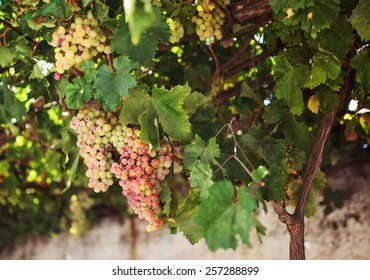Grapes in the Island of Naxos, Greece.