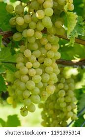 Grapes in a Kelowna Winery