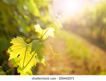 Grapes leaves in a vineyard