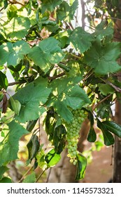 Grapes and Leaves In a Winery on a Sunny Day
