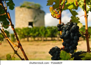 Grapes and medieval tower in vineyard in region Medoc, France