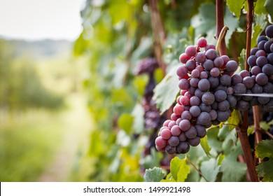 Grapes of the Novara hills almost ready for harvest, Novara, Piedmont, Italy