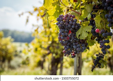 Grapes of the Novara hills ready for harvest, Novara, Piedmont, Italy