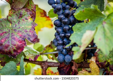 Grapes of the Novara hills ready for harvest, Novara, Piedmont, Italy
